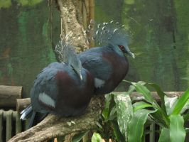 Western Crowned-Pigeon 02 by animalphotos