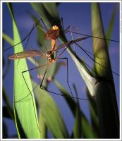The mosquito by mjagiellicz