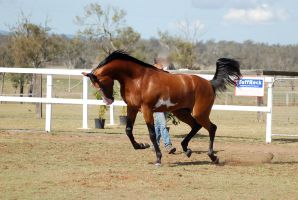 GE arab pinto moving into canter side neck arc by Chunga-Stock