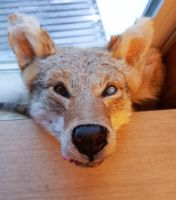 Blind, Snarling Coyote by Surrexis