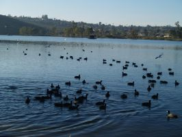 A Group of Ducks in the Lake by CatherineAllison