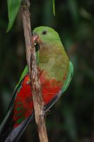 King Parrot by 0-kelley-0