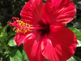 The Red Hibiscus by X-x-Magpie-x-X