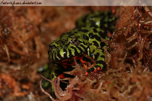 Fire-Bellied Toad by FantasticFennec