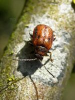 Hawthorn Leaf Beetle by iriscup