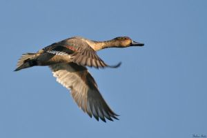 Pintail Flight by mydigitalmind