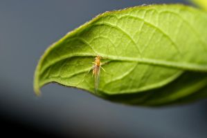 bug id - winged aphid by Me-mice-elf-and-eye