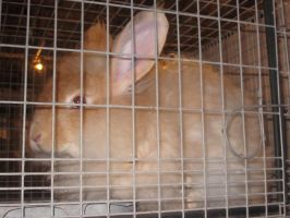 French Angora Rabbit by kdawg7736