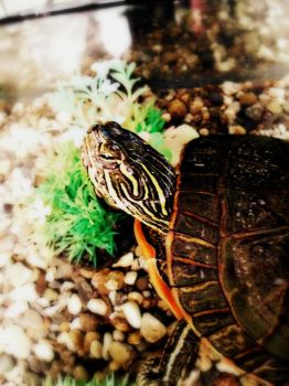 Painted Turtle by apple-lover-lives