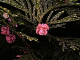 Ring-Flash test Conifer 1 by TERABBS