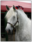 Percheron Mare by ladyepona
