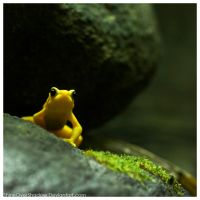Yellow Frog 001 by ShineOverShadow
