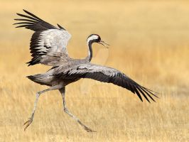 Crazy Legs - common crane by Jamie-MacArthur