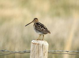 Wilson's Snipe by sgt-slaughter