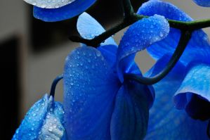 Blue Orchid by NB-Photo