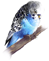 Budgie by xMits