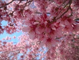 Spring Blossoms by OriginOfAsymmetry