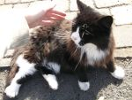 Neighborhood friendly cat by British-Hero