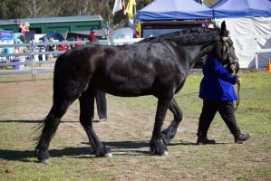 STOCK - Canungra Show 2012 200 by fillyrox