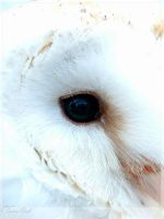 Barn Owl by kpanic