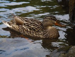 Duck by MartinGcz