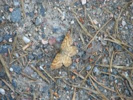 Butterfly on the ground. by Daramoon
