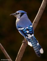 Blue jay 3 by purple007