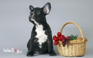 French bulldog by wikidog