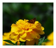 Butterfly on Marigold by manwithashadow