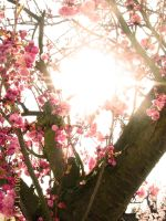 Cherry Blossom 6 by this-is-the-life2905