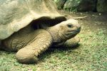 Giant Tortoise  by poshbeck