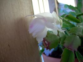 Christmas Cactus in July by Zsantz