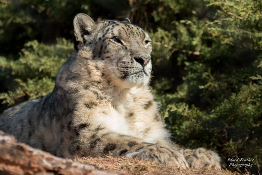 Snow Leopard 3 by EdgedFeather