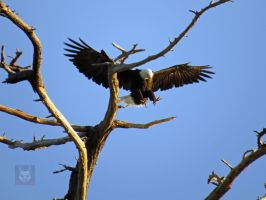 A Bald Eagle Alighting On A Branch by wolfwings1