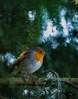 Robin 08 by NellyGraceNG
