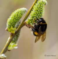 humming bee. by mortenthoms