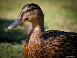 Duck. by ChessW24
