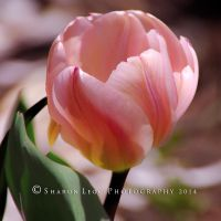 Pink Swirl Tulip by SharonLeggDigitalArt