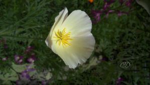 ESCHOLZIA 2 by BELLESYMPHORINE