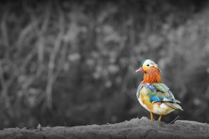 Mandarin duck by SWAT-Strachan