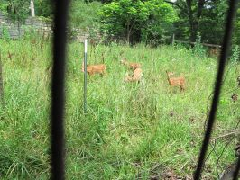 Fenced In Fawns 1 by Windthin