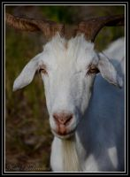 Goat2 by DesignKReations
