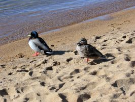AthenaStock::Ducks on Beach 4 by AthenaStock