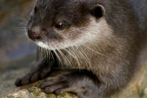 Otter III by Caelitha