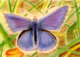 Adonis blue by archiejake