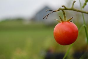 Rule of Thirds- tomato by treeclimber411