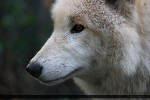 Hudson Bay Wolf 144 by Canisography