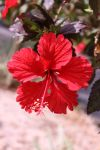 Red Flower hibiscis by Maggiesdaisy