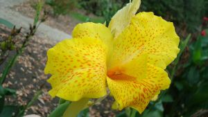 Yellow Canna by TheBeautyKiller666