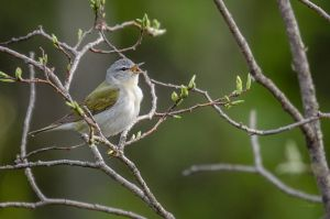 Tennessee Warbler - Singing by JestePhotography